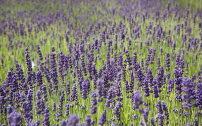 Lavendel #1